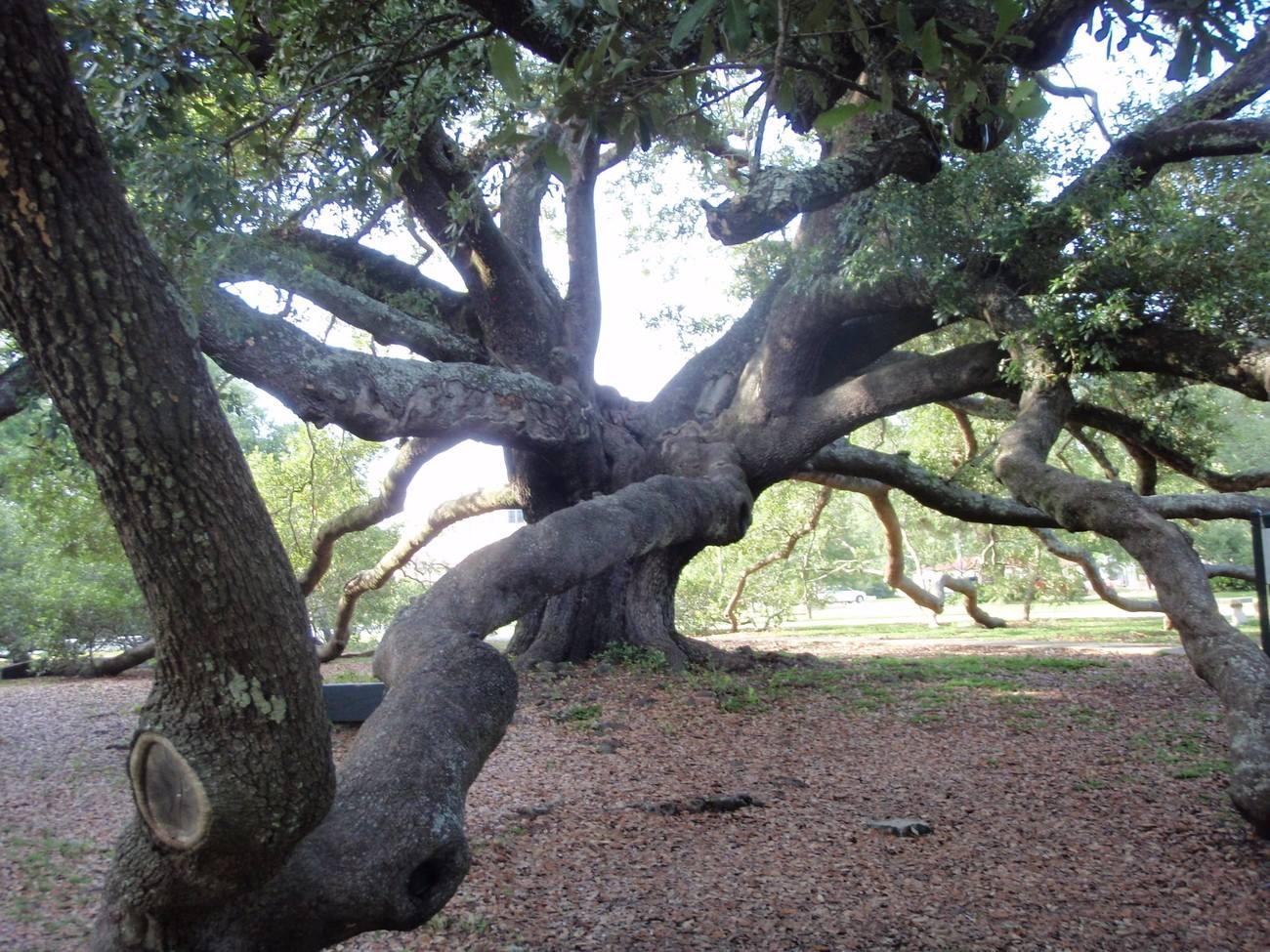 The Friendship Oak in Mississippi