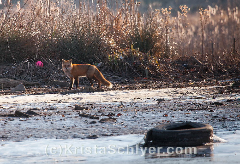 Red fox and trash on the Anacostia River