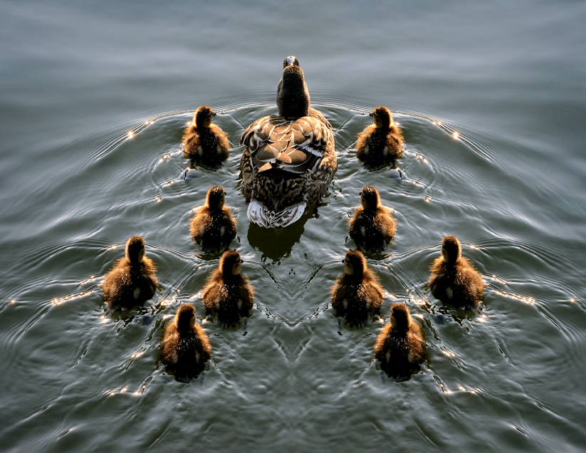 ducks, swimming, formation, aglo, ducklings