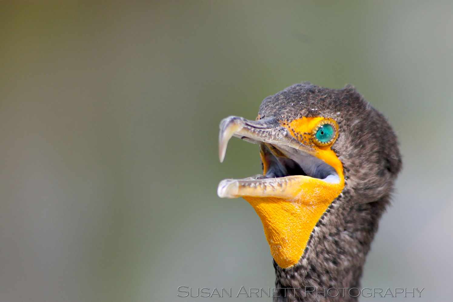 A cormorant rests in the sun in the Florida Everglades, showing of their bright blue eyes and yellow beak.