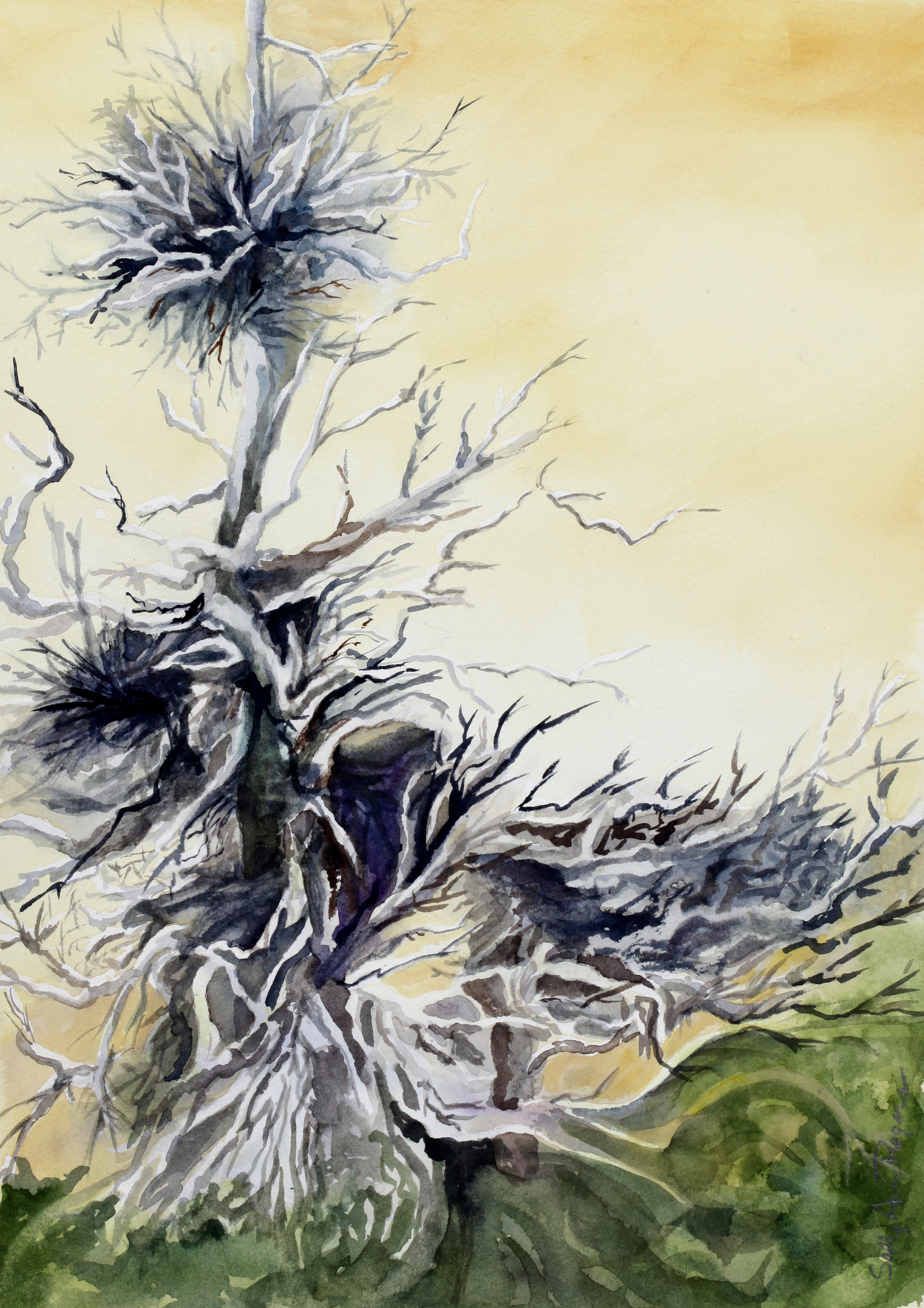 Watercolor of an a disease infestation on an evergreen that is referred to as witch's broom.