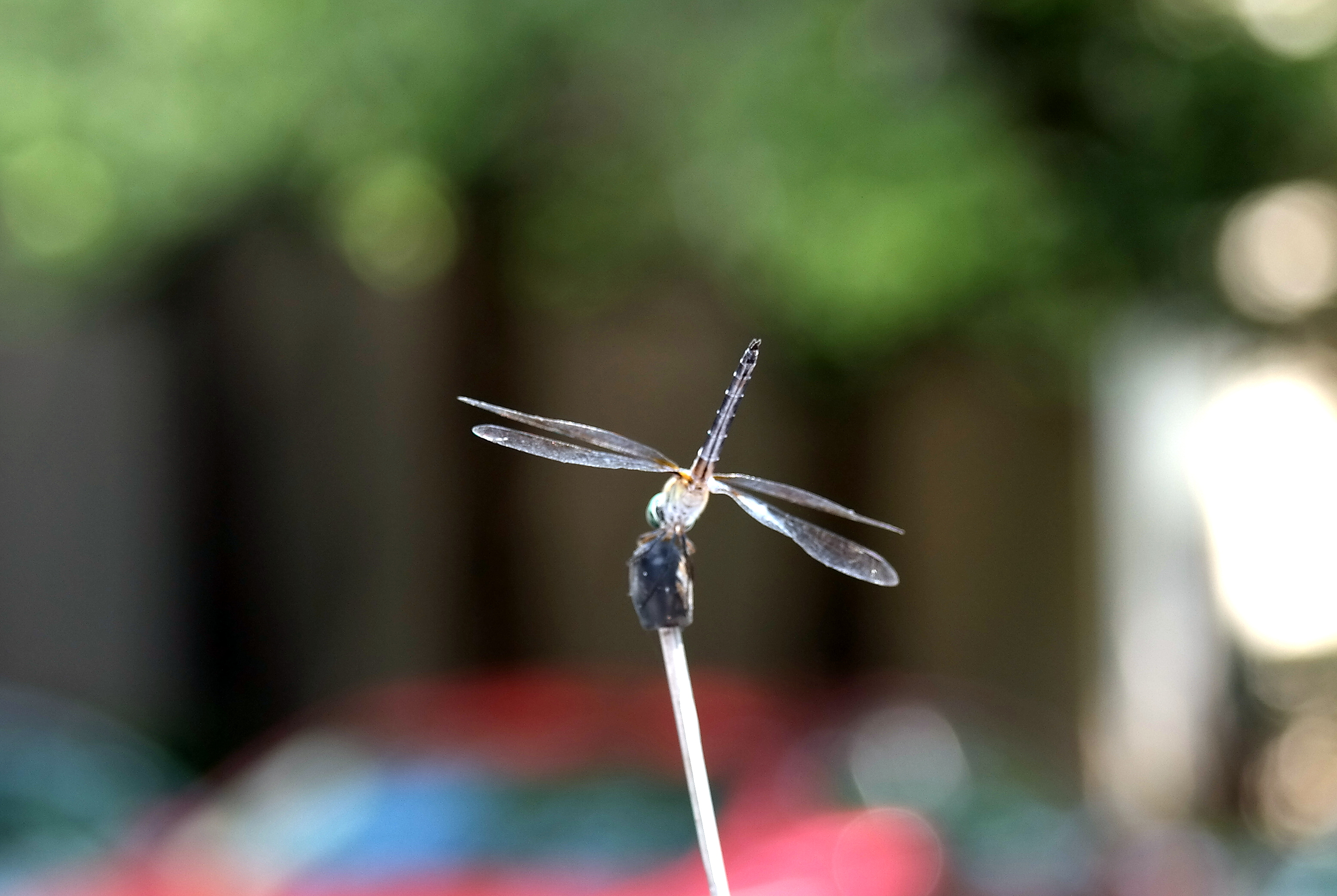 Dragonfly - macro photography.